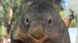 Amazing Outpouring Of Love As Australia's Oldest, Friendliest Wombat