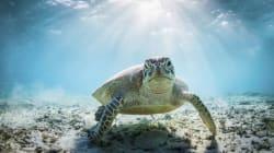 El proyecto de ley que permite la captura de tortugas marinas en peligro de