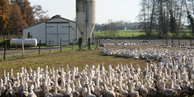 Des canards dans une ferme de Benesse-Maremne (Landes) en décembre 2015.
