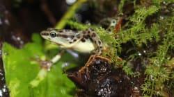 絶滅したと考えられていた南米秘境のカエル、日本で繁殖に挑戦。「あわしまマリンパーク」、クラウドファンディングで支援募る。