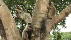 サルの群れに襲撃された72歳男性が死亡。「20個以上ものレンガを投げつけた」