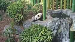 Calgary Zoo's Live PandaCam Is Here For All Your Procrastination