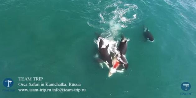 Orcas acechan y matan a una ballena de 12 metros