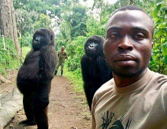 Photo shows gorillas posing with guards