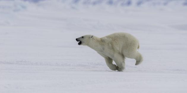 A young male polar bear running.