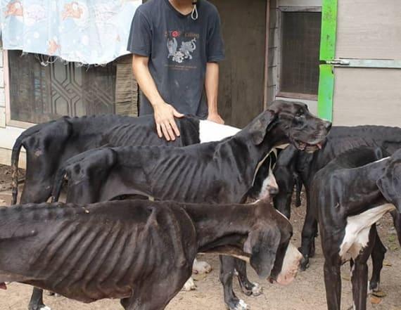 13 skeletal Great Danes rescued from breeding farm