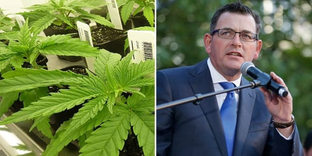 Daniel Andrews has shown off the first look of his state's cannabis crop