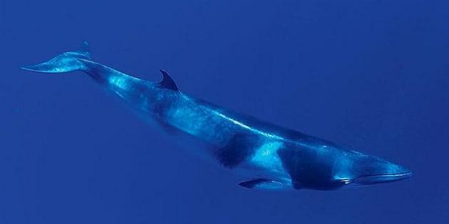 A dwarf minke whale