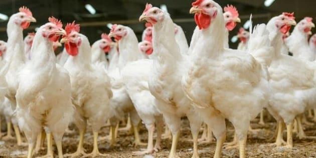 Et si l'anthropocène, l'ère de l'Homme, était définie par les poulets ?