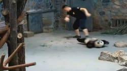 Non tutti i video di panda inteneriscono. Questo ha fatto arrabbiare molti
