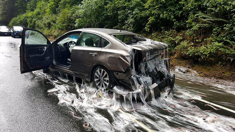 Oregon Cars Highway Are Drenched In Slime Eels