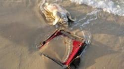 Cette tortue menacée d'extinction a été retrouvée morte, coincée par une chaise de
