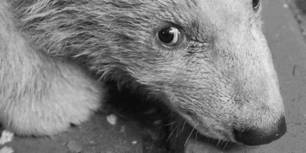 L'ours polaire Fritz était censé marcher dans les traces de Knut, la précédente vedette du zoo de Berlin.