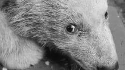 Après Knut, le petit ourson polaire vedette du zoo de Berlin est