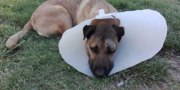 El perrito héroe se encuentra en recuperación.