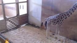 La giraffa April partorisce il cucciolo, in diretta il momento della