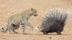 Ce jeune léopard n'a pas choisi le repas le plus facile à