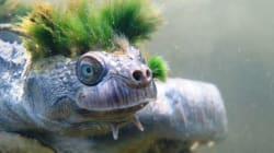 Cette tortue punk qui respire par les organes génitaux est en voie de