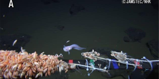 水深8,178m地点で撮影されたマリアナスネイルフィッシュ