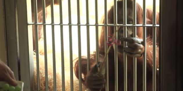 Même les orangs-outans se mettent au Hand  Spinner.