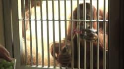 Même les orangs-outans se mettent au Hand