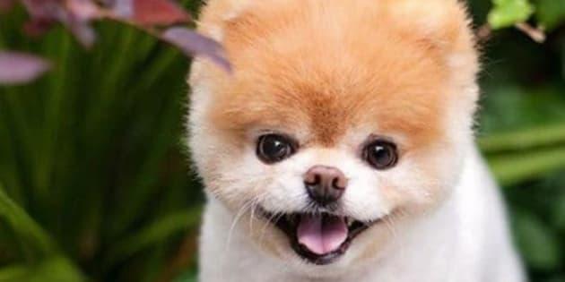 È morto Boo, il cane più bello e più social del mondo