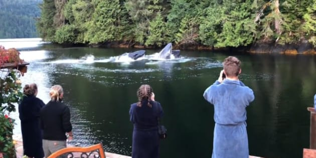 Guests at a lodge in B.C. were treated to the majestic sight of humpback whales visiting for breakfast.