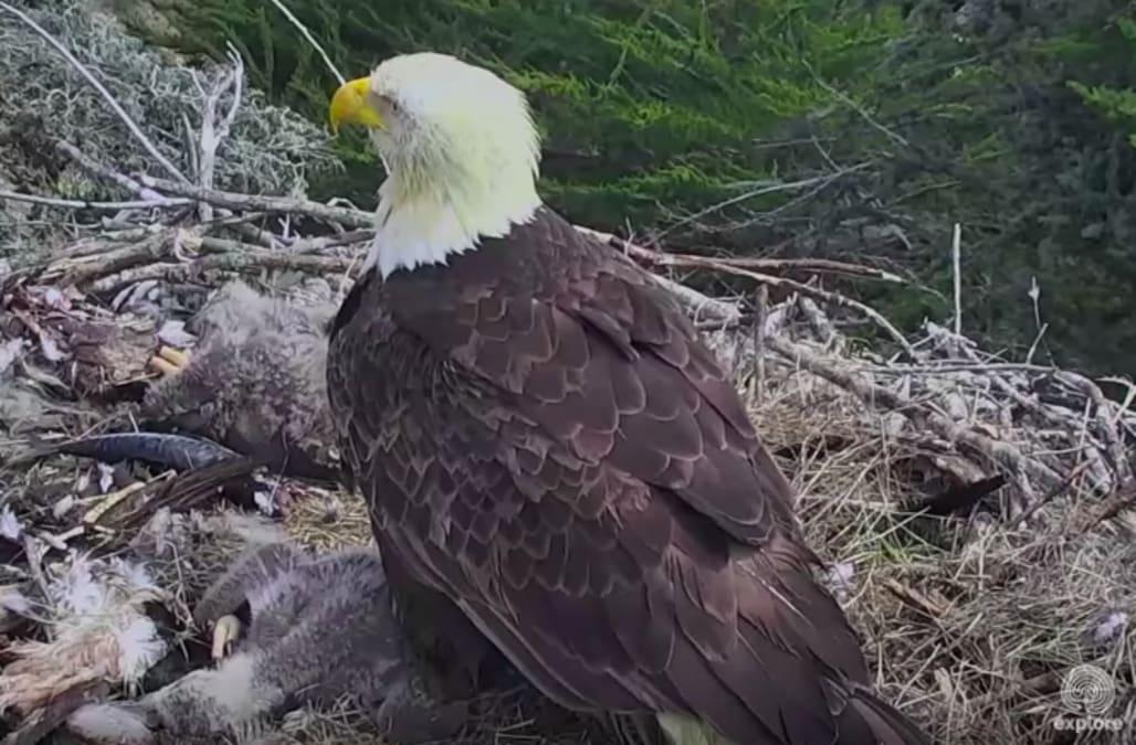Nest Cam Captures Bald Eagle And Chicks Understandable Shock ...
