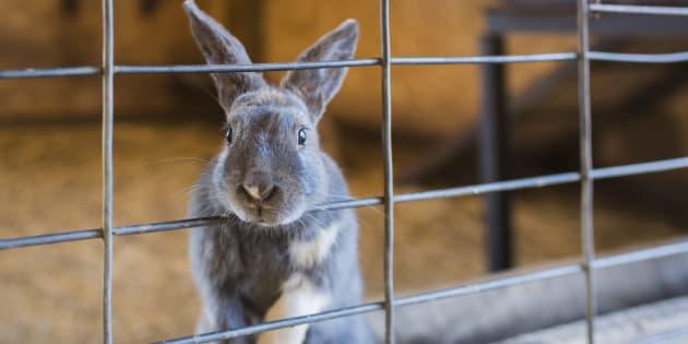 Des centaines de lapins, gerbilles, souris et autres cochons d'Inde sont pour l'heure laissés à l'abandon (illustration).
