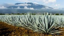 Estudiantes del Tec buscan crear combustible con residuos de tequila y