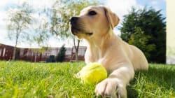 Labrador: la raza más abandonada en