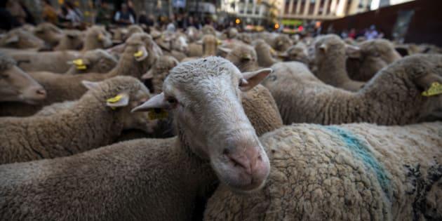 Les moutons reconnaissent Obama et Emma Watson à partir d'une photo