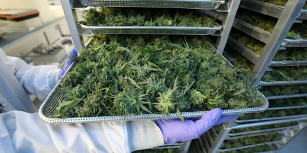 Laboratoire de production de cannabis au Québec, photo d'illustration.