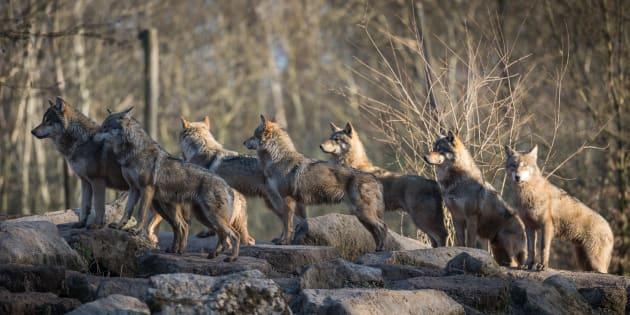 """""""La legittima difesa contro il lupo? Un regalo ai cacci"""