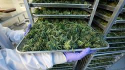 Le cannabis médical sera autorisé au Royaume-Uni dès le 1er