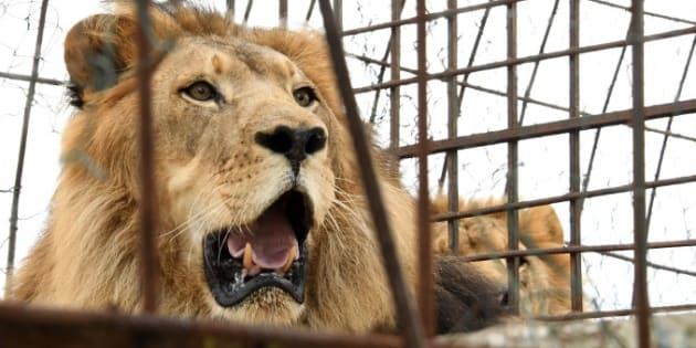 Le lion a été abattu pour pouvoir récupérer le corps de la jeune femme (photo d'illustration).