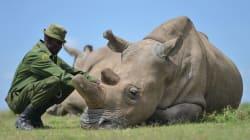 Le plan un peu fou de scientifiques pour sauver les rhinocéros blancs du