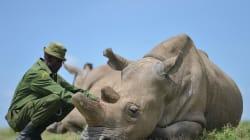 Le plan un peu fou pour sauver les rhinocéros blancs du