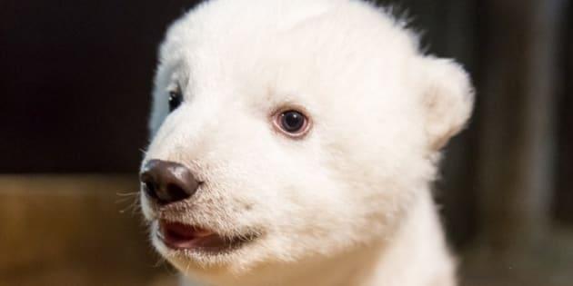 Le nouvel ours polaire Fritz du zoo de Berlin sera présenté au public en mars prochain