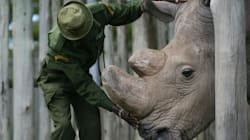 Extinction Looms For Northern White Rhino As Last Male Nears