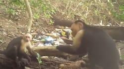 Des singes du Panama seraient entrés dans l'âge de