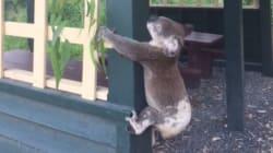 L'Australie indignée par la découverte d'un koala vissé à un