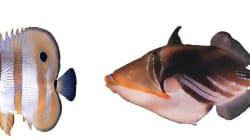 ¿Por qué Nemo tiene tres rayas blancas? Enigma