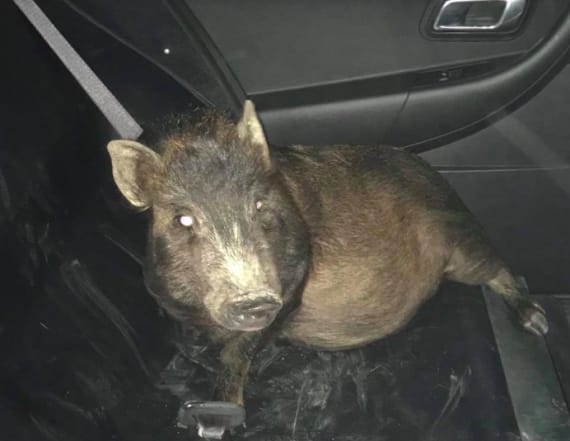 Man calls cops to report he's being following by pig