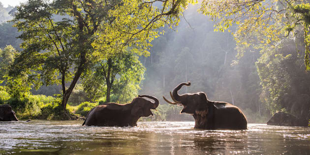 The elephant playing water in the river