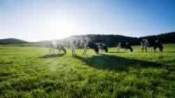 Un homme de 19 ans est accusé d'avoir affamé des vaches au
