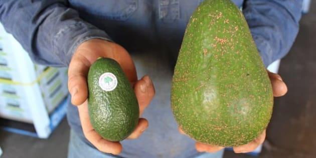 L'exploitation Groves Tropical Fruit Farm a ramené cette variété d'avocats d'Afrique du Sud, et fait le bonheur des Australiens avec des pièces allant jusqu'à 1,8 kilos.