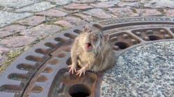 L'histoire de ce rat coincé et sauvé a ému les