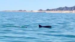Video: ¡Dos vaquitas marinas cerca de San Felipe,