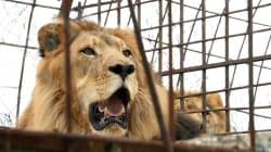 Un lion tue une jeune stagiaire dans un zoo